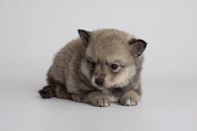 puppy162 week5 BowTiePomsky.com Bowtie Pomsky Puppy For Sale Husky Pomeranian Mini Dog Spokane WA Breeder Blue Eyes Pomskies Celebrity Puppy web5