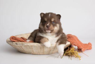 puppy163 week3 BowTiePomsky.com Bowtie Pomsky Puppy For Sale Husky Pomeranian Mini Dog Spokane WA Breeder Blue Eyes Pomskies Celebrity Puppy web4