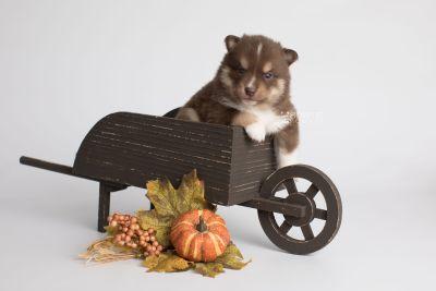 puppy163 week3 BowTiePomsky.com Bowtie Pomsky Puppy For Sale Husky Pomeranian Mini Dog Spokane WA Breeder Blue Eyes Pomskies Celebrity Puppy web6