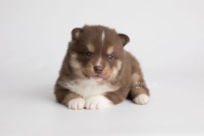puppy163 week3 BowTiePomsky.com Bowtie Pomsky Puppy For Sale Husky Pomeranian Mini Dog Spokane WA Breeder Blue Eyes Pomskies Celebrity Puppy web7