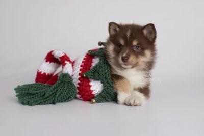 puppy163 week5 BowTiePomsky.com Bowtie Pomsky Puppy For Sale Husky Pomeranian Mini Dog Spokane WA Breeder Blue Eyes Pomskies Celebrity Puppy web5