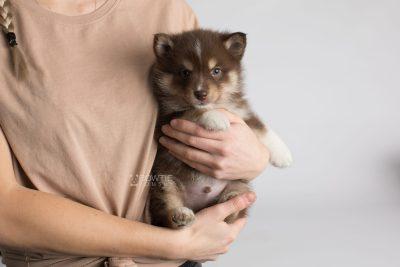 puppy163 week5 BowTiePomsky.com Bowtie Pomsky Puppy For Sale Husky Pomeranian Mini Dog Spokane WA Breeder Blue Eyes Pomskies Celebrity Puppy web7