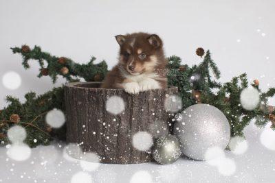 puppy163 week5 BowTiePomsky.com Bowtie Pomsky Puppy For Sale Husky Pomeranian Mini Dog Spokane WA Breeder Blue Eyes Pomskies Celebrity Puppy web8