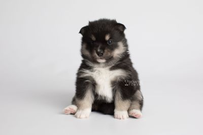 puppy164 week3 BowTiePomsky.com Bowtie Pomsky Puppy For Sale Husky Pomeranian Mini Dog Spokane WA Breeder Blue Eyes Pomskies Celebrity Puppy web5