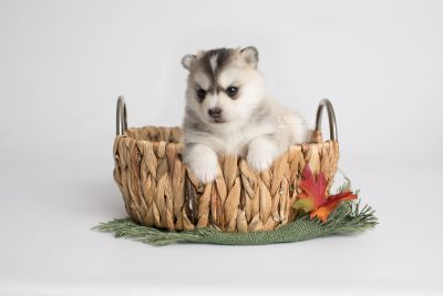 puppy165 week3 BowTiePomsky.com Bowtie Pomsky Puppy For Sale Husky Pomeranian Mini Dog Spokane WA Breeder Blue Eyes Pomskies Celebrity Puppy web5