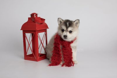 puppy165 week5 BowTiePomsky.com Bowtie Pomsky Puppy For Sale Husky Pomeranian Mini Dog Spokane WA Breeder Blue Eyes Pomskies Celebrity Puppy web3