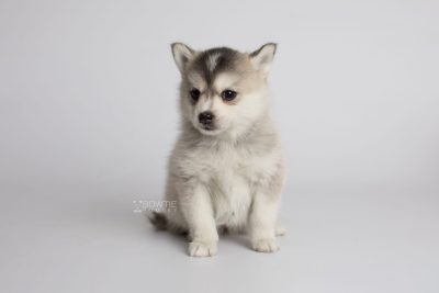 puppy165 week5 BowTiePomsky.com Bowtie Pomsky Puppy For Sale Husky Pomeranian Mini Dog Spokane WA Breeder Blue Eyes Pomskies Celebrity Puppy web6