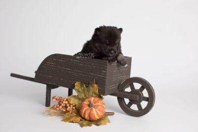 puppy166 week3 BowTiePomsky.com Bowtie Pomsky Puppy For Sale Husky Pomeranian Mini Dog Spokane WA Breeder Blue Eyes Pomskies Celebrity Puppy web1