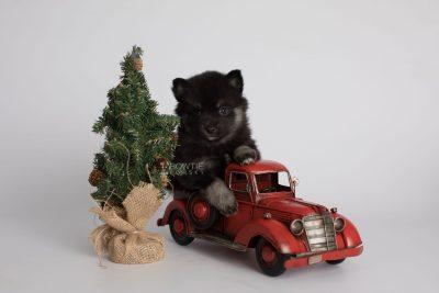 puppy166 week5 BowTiePomsky.com Bowtie Pomsky Puppy For Sale Husky Pomeranian Mini Dog Spokane WA Breeder Blue Eyes Pomskies Celebrity Puppy web1