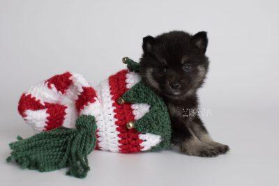 puppy166 week5 BowTiePomsky.com Bowtie Pomsky Puppy For Sale Husky Pomeranian Mini Dog Spokane WA Breeder Blue Eyes Pomskies Celebrity Puppy web4