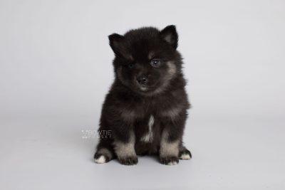 puppy166 week5 BowTiePomsky.com Bowtie Pomsky Puppy For Sale Husky Pomeranian Mini Dog Spokane WA Breeder Blue Eyes Pomskies Celebrity Puppy web5
