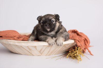 puppy168 week3 BowTiePomsky.com Bowtie Pomsky Puppy For Sale Husky Pomeranian Mini Dog Spokane WA Breeder Blue Eyes Pomskies Celebrity Puppy web1