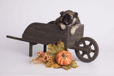 puppy168 week3 BowTiePomsky.com Bowtie Pomsky Puppy For Sale Husky Pomeranian Mini Dog Spokane WA Breeder Blue Eyes Pomskies Celebrity Puppy web2
