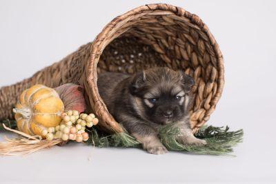 puppy168 week3 BowTiePomsky.com Bowtie Pomsky Puppy For Sale Husky Pomeranian Mini Dog Spokane WA Breeder Blue Eyes Pomskies Celebrity Puppy web4