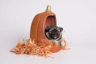 puppy168 week3 BowTiePomsky.com Bowtie Pomsky Puppy For Sale Husky Pomeranian Mini Dog Spokane WA Breeder Blue Eyes Pomskies Celebrity Puppy web7