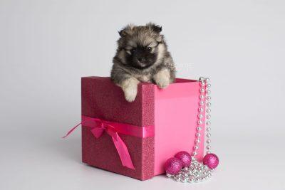 puppy168 week5 BowTiePomsky.com Bowtie Pomsky Puppy For Sale Husky Pomeranian Mini Dog Spokane WA Breeder Blue Eyes Pomskies Celebrity Puppy web1