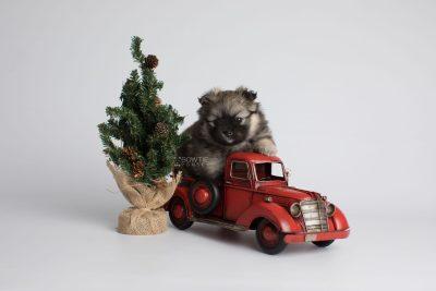puppy168 week5 BowTiePomsky.com Bowtie Pomsky Puppy For Sale Husky Pomeranian Mini Dog Spokane WA Breeder Blue Eyes Pomskies Celebrity Puppy web2