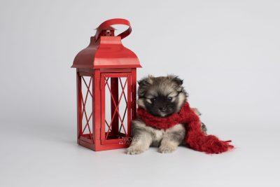 puppy168 week5 BowTiePomsky.com Bowtie Pomsky Puppy For Sale Husky Pomeranian Mini Dog Spokane WA Breeder Blue Eyes Pomskies Celebrity Puppy web3