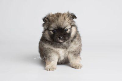puppy168 week5 BowTiePomsky.com Bowtie Pomsky Puppy For Sale Husky Pomeranian Mini Dog Spokane WA Breeder Blue Eyes Pomskies Celebrity Puppy web6