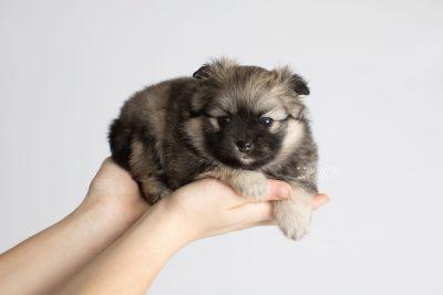 puppy168 week5 BowTiePomsky.com Bowtie Pomsky Puppy For Sale Husky Pomeranian Mini Dog Spokane WA Breeder Blue Eyes Pomskies Celebrity Puppy web7