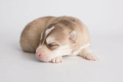 puppy169 week1 BowTiePomsky.com Bowtie Pomsky Puppy For Sale Husky Pomeranian Mini Dog Spokane WA Breeder Blue Eyes Pomskies Celebrity Puppy web5