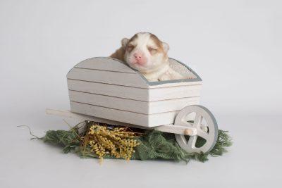 puppy170 week1 BowTiePomsky.com Bowtie Pomsky Puppy For Sale Husky Pomeranian Mini Dog Spokane WA Breeder Blue Eyes Pomskies Celebrity Puppy web3