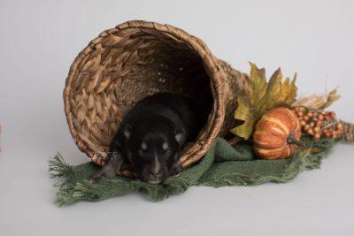 puppy171 week1 BowTiePomsky.com Bowtie Pomsky Puppy For Sale Husky Pomeranian Mini Dog Spokane WA Breeder Blue Eyes Pomskies Celebrity Puppy web4