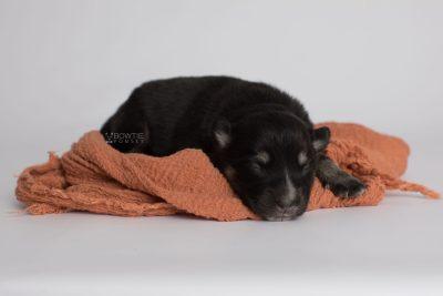 puppy171 week1 BowTiePomsky.com Bowtie Pomsky Puppy For Sale Husky Pomeranian Mini Dog Spokane WA Breeder Blue Eyes Pomskies Celebrity Puppy web6