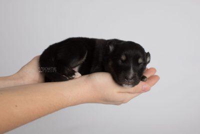 puppy171 week1 BowTiePomsky.com Bowtie Pomsky Puppy For Sale Husky Pomeranian Mini Dog Spokane WA Breeder Blue Eyes Pomskies Celebrity Puppy web8