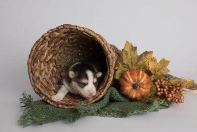 puppy172 week1 BowTiePomsky.com Bowtie Pomsky Puppy For Sale Husky Pomeranian Mini Dog Spokane WA Breeder Blue Eyes Pomskies Celebrity Puppy web4