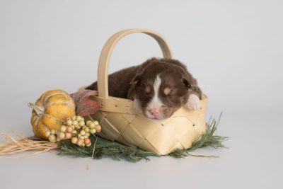 puppy174 week1 BowTiePomsky.com Bowtie Pomsky Puppy For Sale Husky Pomeranian Mini Dog Spokane WA Breeder Blue Eyes Pomskies Celebrity Puppy web1