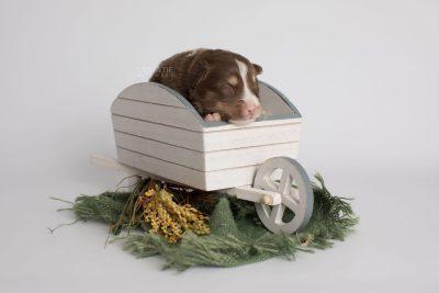 puppy174 week1 BowTiePomsky.com Bowtie Pomsky Puppy For Sale Husky Pomeranian Mini Dog Spokane WA Breeder Blue Eyes Pomskies Celebrity Puppy web2