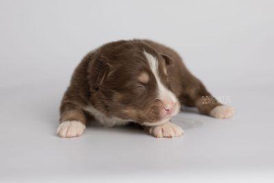 puppy174 week1 BowTiePomsky.com Bowtie Pomsky Puppy For Sale Husky Pomeranian Mini Dog Spokane WA Breeder Blue Eyes Pomskies Celebrity Puppy web5
