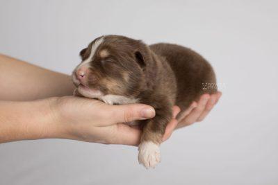 puppy174 week1 BowTiePomsky.com Bowtie Pomsky Puppy For Sale Husky Pomeranian Mini Dog Spokane WA Breeder Blue Eyes Pomskies Celebrity Puppy web6