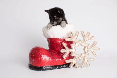 puppy161 week7 BowTiePomsky.com Bowtie Pomsky Puppy For Sale Husky Pomeranian Mini Dog Spokane WA Breeder Blue Eyes Pomskies Celebrity Puppy web3