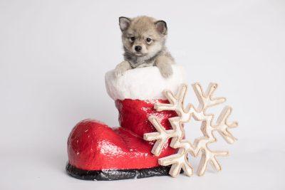 puppy162 week7 BowTiePomsky.com Bowtie Pomsky Puppy For Sale Husky Pomeranian Mini Dog Spokane WA Breeder Blue Eyes Pomskies Celebrity Puppy web3