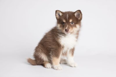 puppy163 week7 BowTiePomsky.com Bowtie Pomsky Puppy For Sale Husky Pomeranian Mini Dog Spokane WA Breeder Blue Eyes Pomskies Celebrity Puppy web4