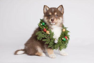 puppy163 week7 BowTiePomsky.com Bowtie Pomsky Puppy For Sale Husky Pomeranian Mini Dog Spokane WA Breeder Blue Eyes Pomskies Celebrity Puppy web6