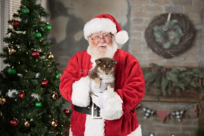 puppy163 week7 BowTiePomsky.com Bowtie Pomsky Puppy For Sale Husky Pomeranian Mini Dog Spokane WA Breeder Blue Eyes Pomskies Celebrity Puppy web7
