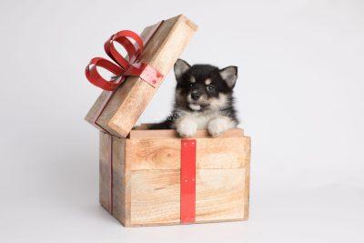 puppy164 week7 BowTiePomsky.com Bowtie Pomsky Puppy For Sale Husky Pomeranian Mini Dog Spokane WA Breeder Blue Eyes Pomskies Celebrity Puppy web1