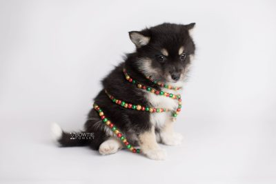 puppy164 week7 BowTiePomsky.com Bowtie Pomsky Puppy For Sale Husky Pomeranian Mini Dog Spokane WA Breeder Blue Eyes Pomskies Celebrity Puppy web6
