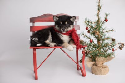 puppy164 week7 BowTiePomsky.com Bowtie Pomsky Puppy For Sale Husky Pomeranian Mini Dog Spokane WA Breeder Blue Eyes Pomskies Celebrity Puppy web9