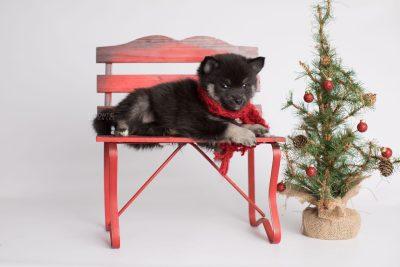 puppy166 week7 BowTiePomsky.com Bowtie Pomsky Puppy For Sale Husky Pomeranian Mini Dog Spokane WA Breeder Blue Eyes Pomskies Celebrity Puppy web1