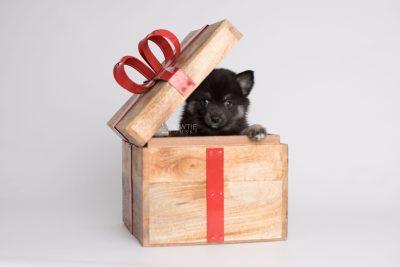 puppy166 week7 BowTiePomsky.com Bowtie Pomsky Puppy For Sale Husky Pomeranian Mini Dog Spokane WA Breeder Blue Eyes Pomskies Celebrity Puppy web2