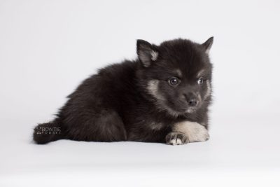 puppy166 week7 BowTiePomsky.com Bowtie Pomsky Puppy For Sale Husky Pomeranian Mini Dog Spokane WA Breeder Blue Eyes Pomskies Celebrity Puppy web4