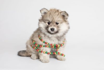 puppy167 week7 BowTiePomsky.com Bowtie Pomsky Puppy For Sale Husky Pomeranian Mini Dog Spokane WA Breeder Blue Eyes Pomskies Celebrity Puppy web10