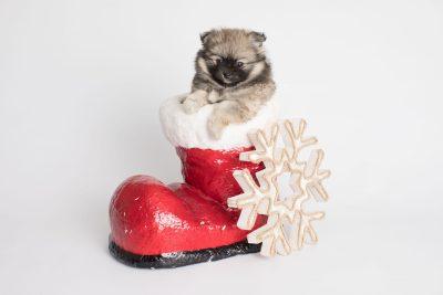 puppy168 week7 BowTiePomsky.com Bowtie Pomsky Puppy For Sale Husky Pomeranian Mini Dog Spokane WA Breeder Blue Eyes Pomskies Celebrity Puppy web4