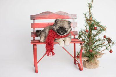 puppy168 week7 BowTiePomsky.com Bowtie Pomsky Puppy For Sale Husky Pomeranian Mini Dog Spokane WA Breeder Blue Eyes Pomskies Celebrity Puppy web5