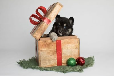 puppy171 week5 BowTiePomsky.com Bowtie Pomsky Puppy For Sale Husky Pomeranian Mini Dog Spokane WA Breeder Blue Eyes Pomskies Celebrity Puppy web1