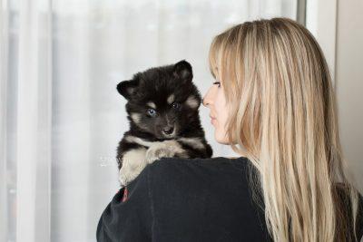 puppy171 week5 BowTiePomsky.com Bowtie Pomsky Puppy For Sale Husky Pomeranian Mini Dog Spokane WA Breeder Blue Eyes Pomskies Celebrity Puppy web9